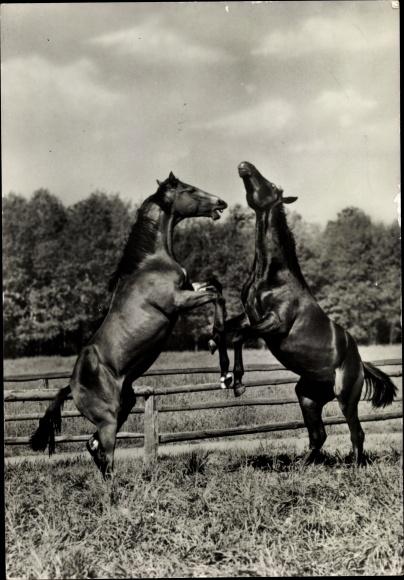Ak Zwei braune Pferde auf den Hinterläufen, Koppel
