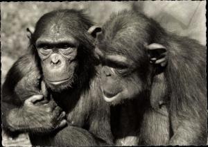 Ak Zürich Stadt Schweiz, Zoologischer Garten, Schimpansen