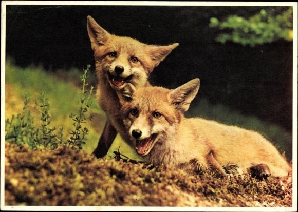 Ak Zwei junge Füchse, Pro Informis, Foto M. Meerkämper