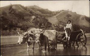 Ak Rumänien, Frau in Tracht auf einem Rinderfuhrwerk