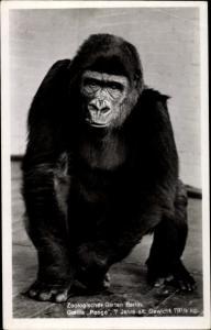 Ak Berlin, Zoologischer Garten, Gorilla Pongo