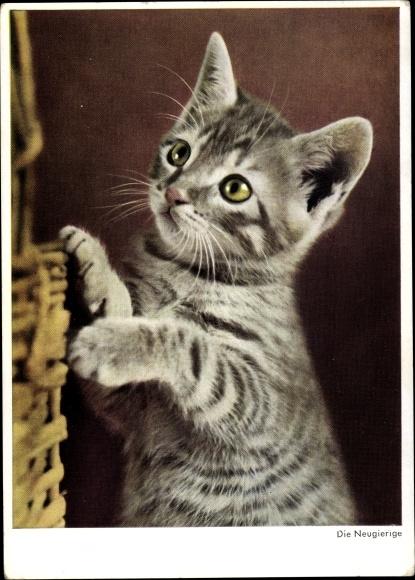 Ak Die Neugierige, Kätzchen, Hauskatze