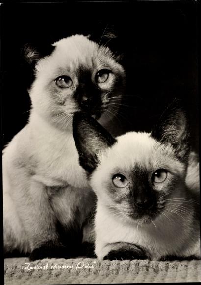 Ak Zwei Hauskatzen, Zweimal schwarzer Peter, Siamesische Katzen
