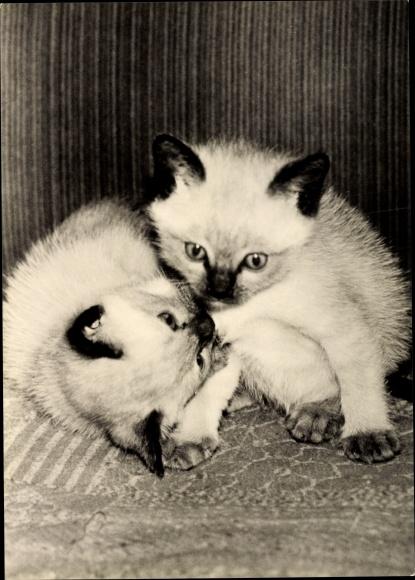 Ak Zwei Kätzchen beim Spielen, Junge Siamkatzen