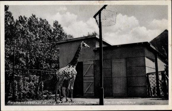 Ak Leipzig in Sachsen, Zoologischer Garten, Am Giraffenhaus 0