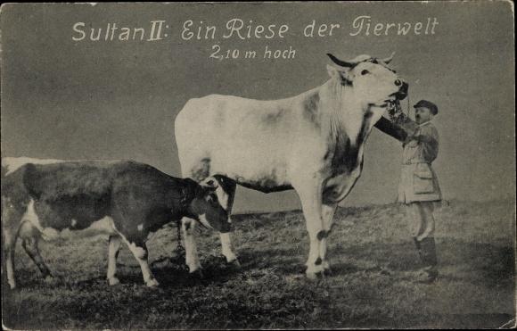 Ak Sultan II, Ein Riese der Tierwelt, 2.10m hoch