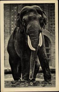 Ak Leipzig in Sachsen, Zoologischer Garten, Elefantenbulle