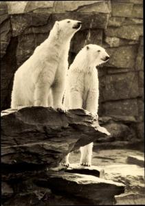 Ak Tierpark Berlin, Eisbären
