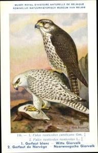Künstler Ak Dupond, Hub., Falco rusticolus, Gerfalke