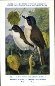 Künstler Ak Dupond, Hub., Sylvia hortensis, Orpheusgrasmücke