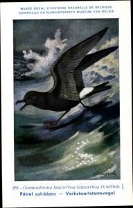 Künstler Ak Dupond, Hub., Oceanodroma leucorrhoa, Wellenläufer