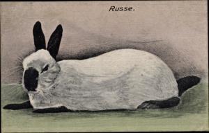 Künstler Ak Russe, Weißer Hase mit schwarzen Pfoten, Ohren, Nase, Schwanz, Rassekaninchen