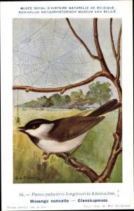 Künstler Ak Dupond, Hub., Parus palustris longirostris, Spinne, Sumpfmeise