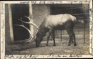 Ak Cervus canadensis, Hirsch