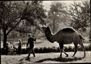 Ak Staßfurt Sachsen Anhalt, Kamel im Heimattiergarten