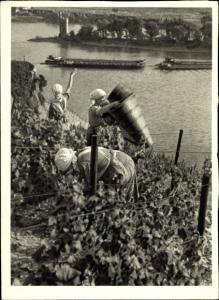 Ak Frauen bei der Weinlese am Weinberg, Talpanorama, Binnenschiffe