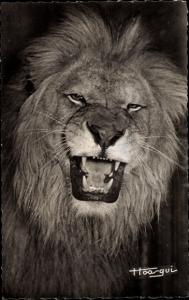 Ak Faune Africaine, le Lion, Löwe