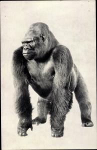 Ak Gorilla, Chicago Natural History Museum, Bushman