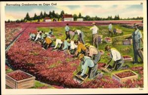 Ak Harvesting Cranberries on Cape Cod, Ernte