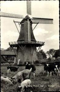 Ak Norg Midden Drenthe Drenthe Niederlande, Windmühle, Rinder