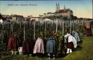Ak Meißen Elbe Sachsen, Ansicht einer Meissener Weinlese