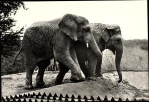 Ak Afrikanischer und Indischer Elefant