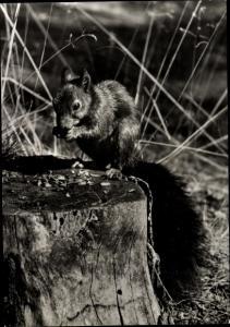 Ak Ein Eichhörnchen isst eine Nuss