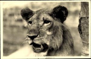 Ak L'Afrique qui disparait, Lion, afrikanischer Löwe