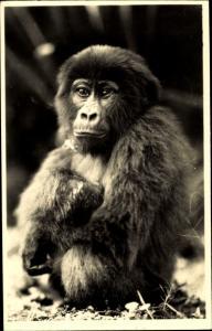 Ak L'Afrique qui disparait, jeune gorille, junger Gorilla