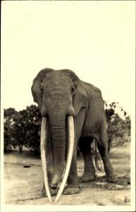 Ak L'Afrique qui disparait, Afrikanischer Elefant, Stoßzähne