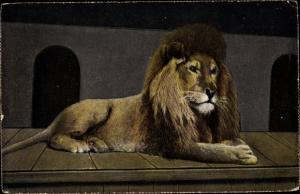 Ak Löwe in einem Gehege