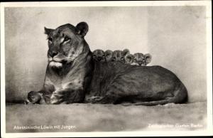 Ak Berlin, Zoologischer Garten, Abessinische Löwin mit Jungen