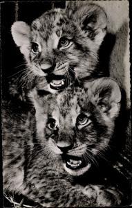 Ak Frankfurt am Main, Zoologischer Garten, Junge Löwen