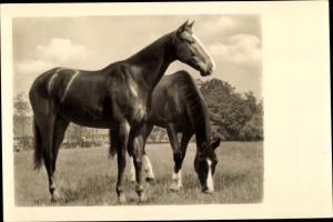 Ak Zwei Pferde auf der Koppel, Amag 68076