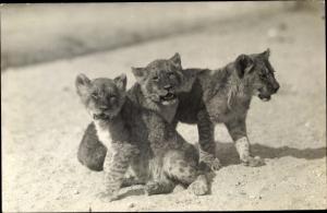 Ak Junge Löwen, Fotograf Ottmar Spaeth