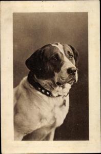Ak Bernhardiner mit Halsband, Hundeportrait