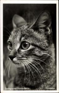 Ak Zoologischer Garten Berlin, Portrait einer Falbkatze, Katzenportrait