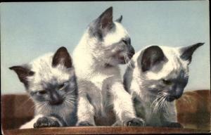 Ak Drei kleine weiße Katzen mit schwarzen Ohren und Gesichtern