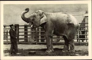 Ak Wien 13. Hietzing Österreich, Schönbrunn, Menagerie, Indischer Elefant