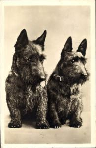 Foto Ak Zwei sitzende Scotch Terrier mit Halsbändern, Hundeportrait