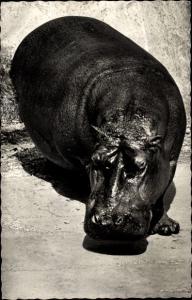 Ak Kongo, Faune Africaine, Hippopotamus, afrikanisches Nilpferd