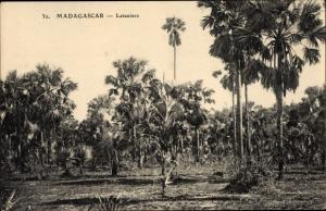 Ak Madagaskar, Lataniers, Partie in einem Palmenhain, Vegetation, Latanen