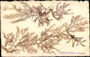 Ak Algues Marines naturelles