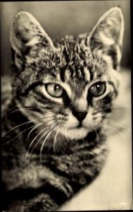 Ak Getigerte Katze, Katzenportrait