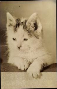 Ak Kleine grau weiße Katze