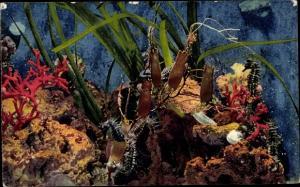 Ak Aquarium de Monaco, Seepferdchen, Hippocampus Guttulatus