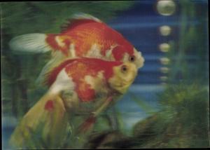 3 D Ak Zwei Goldfische im Aquarium
