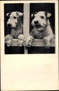 Foto Ak Zwei Terrier schauen aus einem Fenster, Hundeportrait