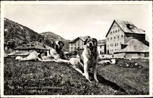 Ak Airolo Kanton Tessin Schweiz, St Gotthard Hospiz, Bernhardiner