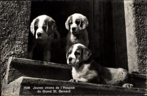 Ak St Bernard Sankt Bernhard Wallis, Hundewelpen, Bernhardiner